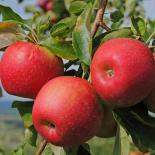 أوراق الشجر والفاكهة
